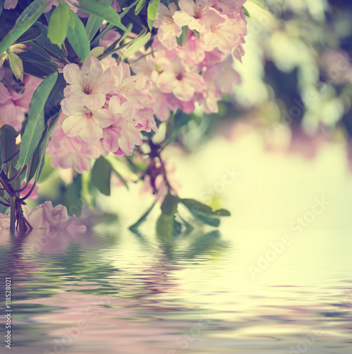 Plakat Kwitnienie świeżych przetargu Różanecznik maksymalna różowe kwiaty i zielone liście na wiosnę z wodą refleksji. Naturalny kwiecisty sezonowy wakacyjny tło z kopii przestrzenią.