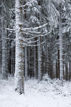 Trees Covered With Snow In France, Vosges.