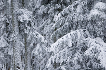 Forest In Wintertime.