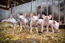 Bioschweine - 5 Neugierige Fer...