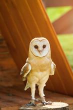 Barn Owl - In Latin Tyto Alba -sitting On A Tree Stump.