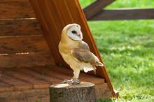 Barn Owl In Captivity - In Latin Tyto Alba -sitting On A Tree Stump.