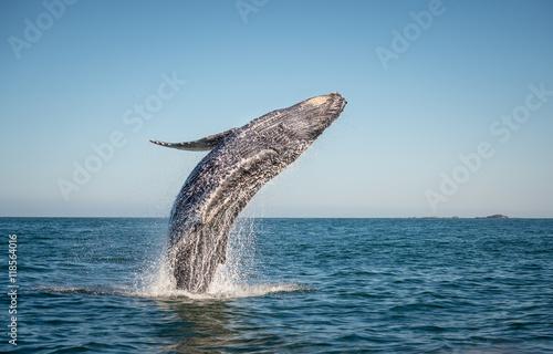 Fototapeta premium Wesołego łamania się wieloryba