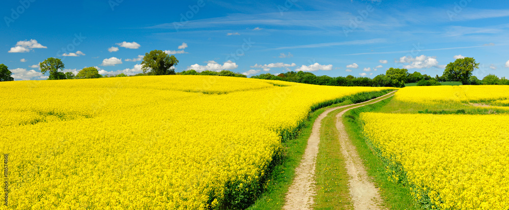 Fototapety, obrazy: Small Dirt Road through Fields of Oilseed Rape in Bloom, Spring Landscape under Blue Sky