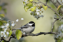 A Carolina Chickadee Sits On A Branch On A Bright Sunny Day On A Branch Of Spring White Flowers And Bright Green Leaves With Some Petals In The Air.