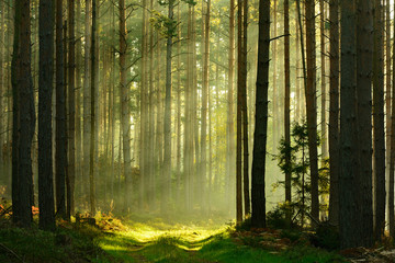 Fototapeta Footpath through Spruce Tree Forest Illuminated by Sunbeams through Fog