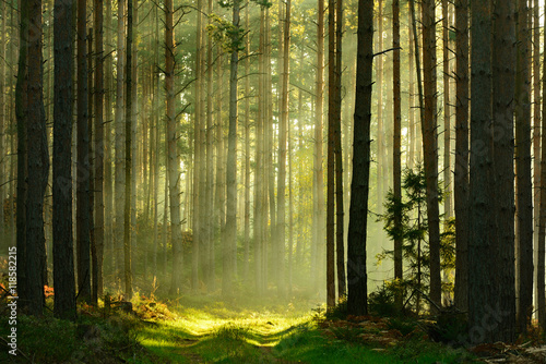 Poster Forets Footpath through Spruce Tree Forest Illuminated by Sunbeams through Fog