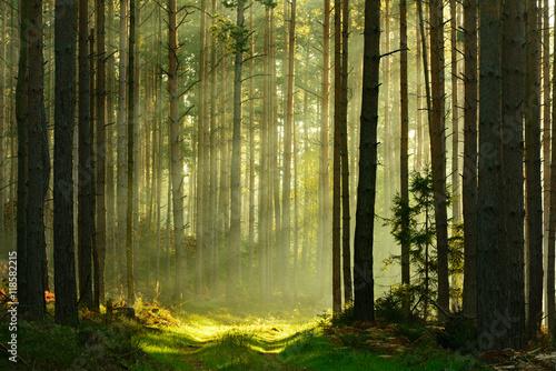 Wall Murals Forest Footpath through Spruce Tree Forest Illuminated by Sunbeams through Fog