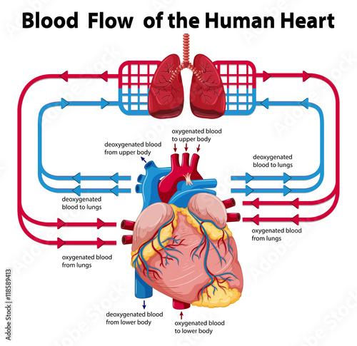 Diagram showing blood flow of human heart - Acheter ce ...
