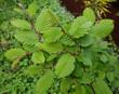 canvas print picture - Hainbuchenblaetter, Hainbuche, Carpinus; betulus