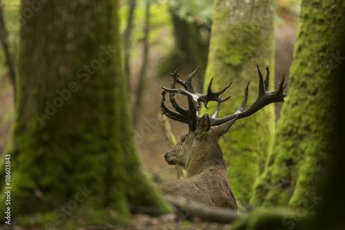 Poster Cerf Cerf couché en forêt pendant le brame