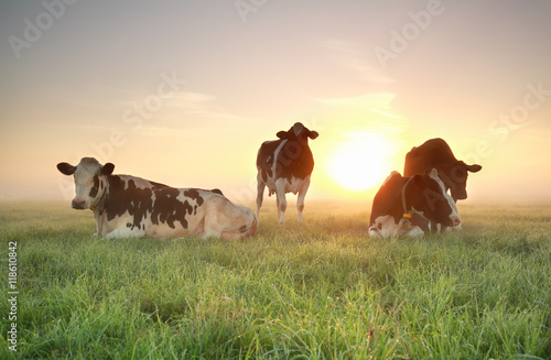 Photo Stands Cow few cows on relaxed on pasture during sunrise