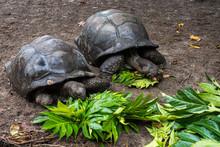 Seychellen - La Digue - Riesenschildkröten In Union Estate