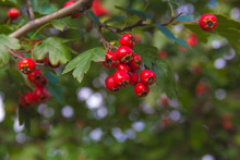 Berries Of Hawthorn On A Branch With Green Leaves