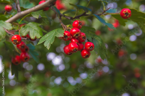 Fototapeta berries of hawthorn on a branch with green leaves