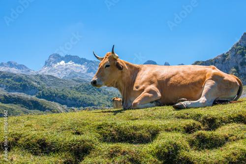 Kuh im Parque Nacional de los Picos de Europa (Picos d'Europa) Asturies (Asturie Canvas-taulu