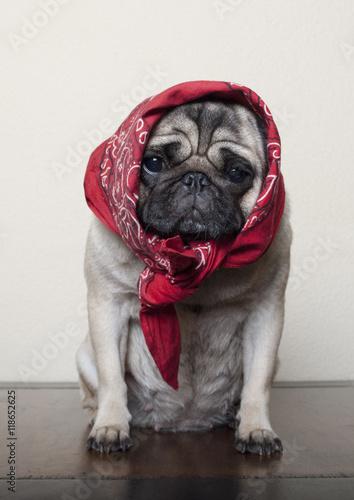 Poster Dog Hond, Mopshond, met hoofddoek