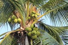 Coconut Fruit On Coconut Tree In Garden Thailand.