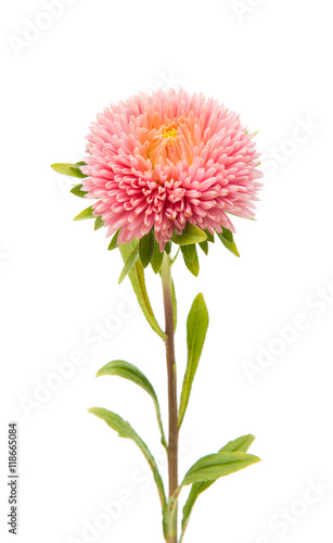In de dag Dahlia Beautiful flower aster isolated