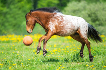 Appaloosa Horse Playing With A...