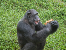 Close Up Of A Chimpanzee Eatin...