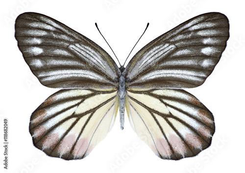 Fotobehang Vlinder Butterfly Delias hyparete indica (male) on a white background