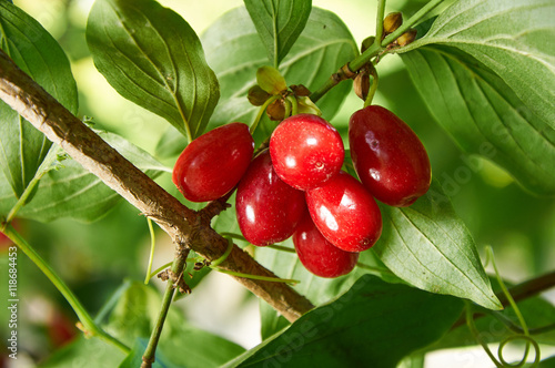 Red berries of cornel or dogwood Canvas-taulu