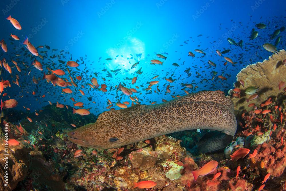 Fototapeta Giant Moray Eel coral reef and fish, Kamodo National Park