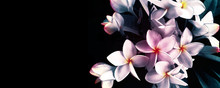 Flowers Plumeria Illustration On Black Background Copy Space
