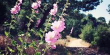 Pink Malva Flowers Near A Walkway. Selective Focus. Aged Photo. Wild Plants. Spring In Turkey. Walking The Turkey's Lycian Way.