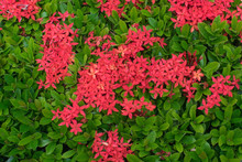 Red Ixora Flower From Top View