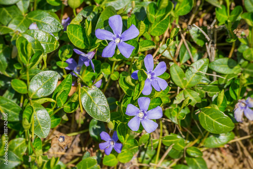 Fotomural Vinca minor / Creeping myrtle periwinkle blue forest subshrub evergreen flower b