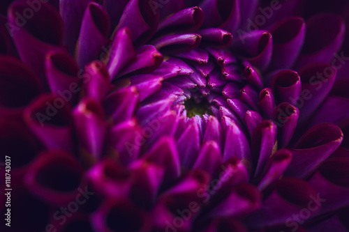 Autocollant pour porte Dahlia Dahlia close up