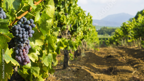 Tuinposter Wijngaard Grapes in the vineyard