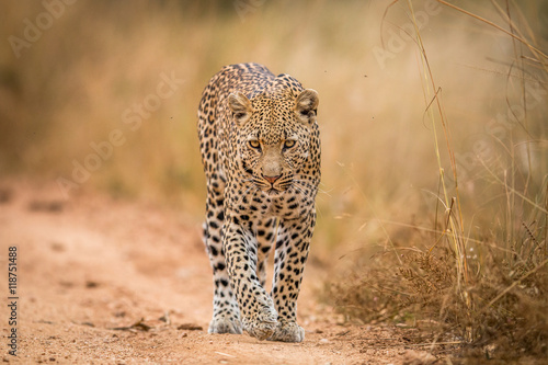 In de dag Luipaard A Leopard walking towards the camera in the Kruger.
