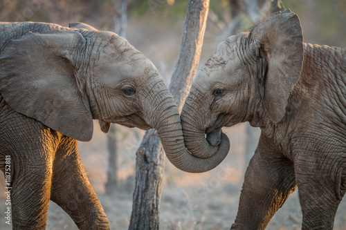 Poster Afrique Elephants playing in the Kruger.
