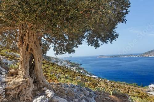Photo sur Toile Oliviers South European landscape with huge ancient olive tree and sea bay on Greek Kalymnos island