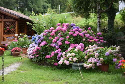 Poster Hortensia fiori giardino,vaso di fiori giardinaggio aiuola decorazione giardino