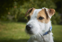 Portrait Of Jack Russell Parson Terrier Pet Dog