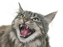 Angry Maine Coon