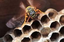 Paper Wasp Sitting On Nest. Po...
