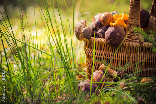 Obraz Fall basket full edible mushrooms forest - fototapety do salonu