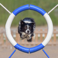 Border Collie Jumps Through Agility Ring
