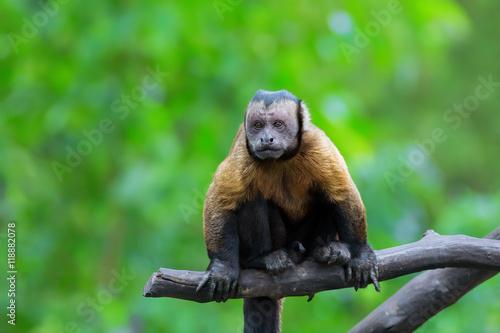 Fényképezés  Brown Capuchin monkey