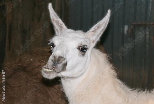 Staande foto Lama RItratto di un lama con una espressione buffa
