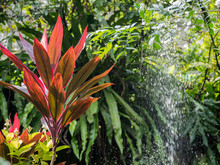 Red Cordyline Grow In The Park