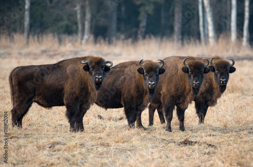 Spoed Foto op Canvas Bison A herd of aurochs.Four large bison on the forest background.Belarus, Bialowieza Forest Reserve