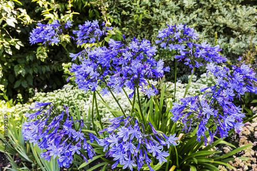 Wallpaper Mural Blue Agapanthus flowering plant in summer garden.