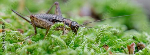 Fotografie, Obraz  Grille Gryllus (Gryllidae) auf Moos im Wald
