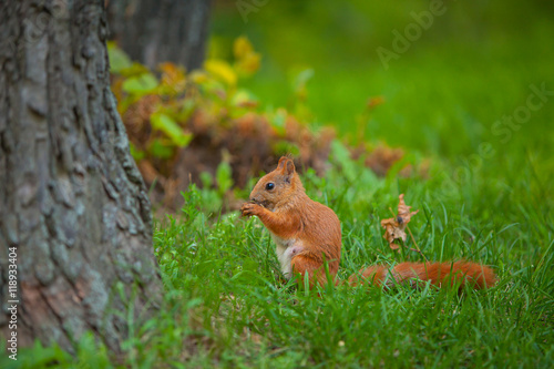 Aluminium Prints Squirrel red squirrel in wild